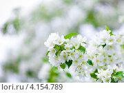 Купить «Цветение яблони», фото № 4154789, снято 25 мая 2011 г. (c) Андрей Кузьмин / Фотобанк Лори