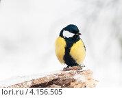 Купить «Большая синица сидит на сучке», эксклюзивное фото № 4156505, снято 31 декабря 2012 г. (c) Игорь Низов / Фотобанк Лори