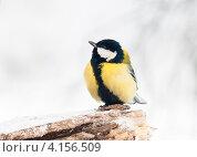 Купить «Большая синица сидит на суку зимой», эксклюзивное фото № 4156509, снято 31 декабря 2012 г. (c) Игорь Низов / Фотобанк Лори