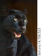 Купить «Портрет чёрной пантеры», фото № 4156521, снято 30 сентября 2012 г. (c) Эдуард Кислинский / Фотобанк Лори