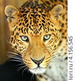 Купить «Портрет леопарда», фото № 4156545, снято 24 июня 2012 г. (c) Эдуард Кислинский / Фотобанк Лори