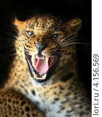 Купить «Портрет леопарда с оскаленной пастью на чёрном фоне», фото № 4156569, снято 14 октября 2012 г. (c) Эдуард Кислинский / Фотобанк Лори