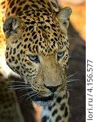 Купить «Портрет леопарда», фото № 4156577, снято 5 августа 2012 г. (c) Эдуард Кислинский / Фотобанк Лори