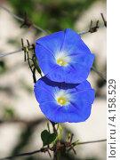 Два голубых вьюна - небесные цветы. Стоковое фото, фотограф Влад ЩЧ / Фотобанк Лори