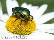 Купить «Бронзовка золотистая (Cetonia aurata) на цветке ромашки», эксклюзивное фото № 4163285, снято 29 июня 2012 г. (c) Елена Коромыслова / Фотобанк Лори