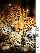Купить «Портрет леопарда», фото № 4184237, снято 30 сентября 2012 г. (c) Эдуард Кислинский / Фотобанк Лори