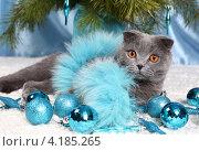 Купить «Красивый британский кот», фото № 4185265, снято 15 декабря 2012 г. (c) Останина Екатерина / Фотобанк Лори