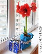 Купить «Цветущий красный гиппеаструм на окне рядом с подарком», фото № 4191629, снято 20 декабря 2012 г. (c) Олеся Сарычева / Фотобанк Лори