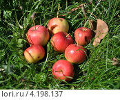 Яблоки на траве. Стоковое фото, фотограф Анна Маркова / Фотобанк Лори