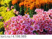 Цветник из красочных хризантем. Стоковое фото, фотограф Андрей Сериков / Фотобанк Лори