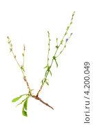 Цикорий  с  корнем, Cichorium intybus. Стоковое фото, фотограф Сергей Гнилосыр / Фотобанк Лори