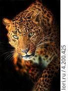 Купить «Леопард, выходящий из темноты», фото № 4200425, снято 8 января 2013 г. (c) Эдуард Кислинский / Фотобанк Лори