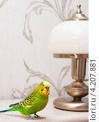 Купить «Маленький  волнистый попугай сидит рядом с торшером», эксклюзивное фото № 4207881, снято 19 января 2013 г. (c) Игорь Низов / Фотобанк Лори