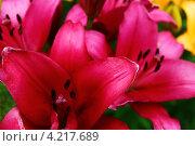 Яркие цветы крупным планом. Стоковое фото, фотограф Фоменко Наталья / Фотобанк Лори