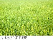 Поле пшеницы. Стоковое фото, фотограф Александр Подшивалов / Фотобанк Лори