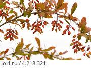 Ветка барбариса с ягодами на белом фоне. Стоковое фото, фотограф Андрей Дыкун / Фотобанк Лори