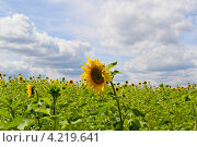 Купить «Цветущий подсолнух», фото № 4219641, снято 21 июля 2012 г. (c) Татьяна Фролова / Фотобанк Лори