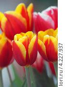Купить «Сортовые садовые красно-желтые тюльпаны крупным планом (малая глубина резкости)», фото № 4227937, снято 27 апреля 2012 г. (c) Ольга Липунова / Фотобанк Лори