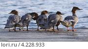 Утки у воды. Стоковое фото, фотограф Катерина Берг / Фотобанк Лори
