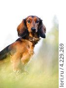 Купить «Портрет таксы в траве», фото № 4229269, снято 7 ноября 2010 г. (c) Артём Сапегин / Фотобанк Лори