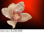 Орхидея на тёмном фоне с красной подсветкой. Стоковая иллюстрация, иллюстратор Савельев Сергей Юрьевич / Фотобанк Лори