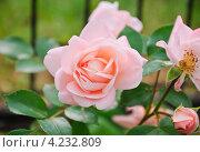 Нежно-розовая роза. Стоковое фото, фотограф Алёшина Оксана / Фотобанк Лори