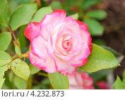 Купить «Роза Куин Элизабет», эксклюзивное фото № 4232873, снято 9 августа 2012 г. (c) Алёшина Оксана / Фотобанк Лори