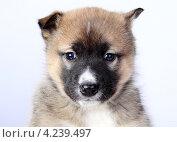 Собака. Стоковое фото, фотограф Коржавин Александр / Фотобанк Лори