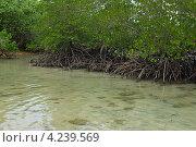 Купить «Мангровые деревья на острове Ко Чанг, Таиланд», фото № 4239569, снято 8 января 2013 г. (c) Natalya Sidorova / Фотобанк Лори