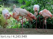 Розовый Фламинго. Стоковое фото, фотограф Жанна Каштан / Фотобанк Лори