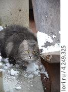 Купить «Настороженный серый сибирский кот на балконе со снегом», фото № 4249325, снято 19 января 2013 г. (c) Сурикова Ирина / Фотобанк Лори