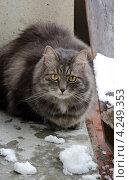 Купить «Серый сибирский кот на балконе со снегом», фото № 4249353, снято 19 января 2013 г. (c) Сурикова Ирина / Фотобанк Лори
