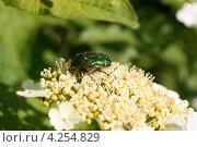 Купить «Зеленый блестящий жук на цветке калины (Золотистая бронзовка, Cetonia aurata)», эксклюзивное фото № 4254829, снято 27 мая 2012 г. (c) Щеголева Ольга / Фотобанк Лори