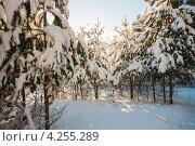 Купить «Зимний пейзаж. Хвойный зимний лес в ясную погоду», эксклюзивное фото № 4255289, снято 26 января 2013 г. (c) Игорь Низов / Фотобанк Лори