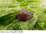 Улитка на листе салата. Стоковое фото, фотограф Рыбаков Сергей / Фотобанк Лори