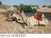 Два арабских верблюда во время сафари на верблюдах в пустыне Тар, Раджастан, Индия (2012 год). Стоковое фото, фотограф крижевская юлия валерьевна / Фотобанк Лори