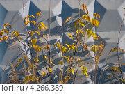 Ветки американского клена на фоне голубого бетонного забора. Стоковое фото, фотограф Ковалева Наталья / Фотобанк Лори