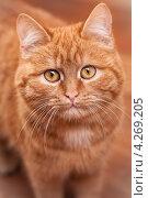 Мордочка рыжего кота. Стоковое фото, фотограф Denis Ganshin / Фотобанк Лори
