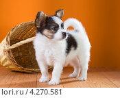 Купить «Маленький щенок папильона стоит возле плетеной корзинки на оранжевом фоне», фото № 4270581, снято 30 января 2013 г. (c) Сергей Лаврентьев / Фотобанк Лори