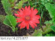 Купить «Цветок герберы (Gerbera)», эксклюзивное фото № 4273877, снято 17 августа 2012 г. (c) Алёшина Оксана / Фотобанк Лори