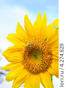 Подсолнух (Helianthus annuus) и шмель. Стоковое фото, фотограф Алёшина Оксана / Фотобанк Лори