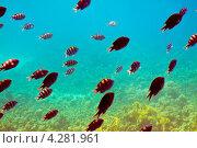 Купить «Тропические рыбки на коралловых рифах», фото № 4281961, снято 28 декабря 2011 г. (c) Яков Филимонов / Фотобанк Лори
