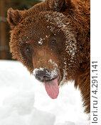 Купить «Бурый медведь высунул язык», фото № 4291141, снято 8 февраля 2013 г. (c) Эдуард Кислинский / Фотобанк Лори