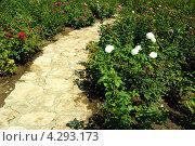 Каменная дорожка в саду между розовых кустов. Стоковое фото, фотограф Людмила Герасимова / Фотобанк Лори