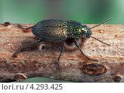 Купить «Бегун золотистый (Harpalus affinis)», фото № 4293425, снято 17 августа 2012 г. (c) Забалуев Игорь Анатолич / Фотобанк Лори