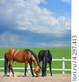 Две лошади гуляют в манеже. Стоковое фото, фотограф Абрамова Ксения / Фотобанк Лори