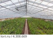 Теплица с ростками ананасов (2012 год). Стоковое фото, фотограф Роман Сулла / Фотобанк Лори