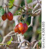 Гроздь плодов тамарилло на ветке. Стоковое фото, фотограф Роман Сулла / Фотобанк Лори