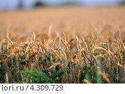 Пшеница. Стоковое фото, фотограф Ковалева Екатерина / Фотобанк Лори