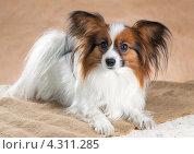 Купить «Портрет собаки породы папильон на бежевом фоне», фото № 4311285, снято 21 февраля 2013 г. (c) Сергей Лаврентьев / Фотобанк Лори